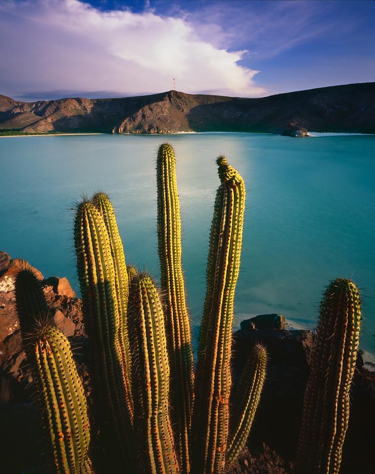 Baja California Sur, Mexico / La Paz, Estero Balandra.  Organpipe cactus, Cereus thurberi, on the cliffs surrounding Estero Balandra's turquoise  waters. 907V3