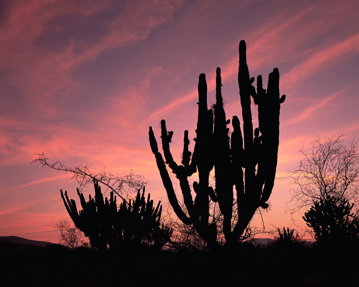 Tamaulipas, Mexico / Mal Pais, Chihuahuan Desert near Tula, silhouetted at sunset, Garambullo, Myrtillocactus geometrizans, and Pitaya, Stenocereus griseus. 204H5