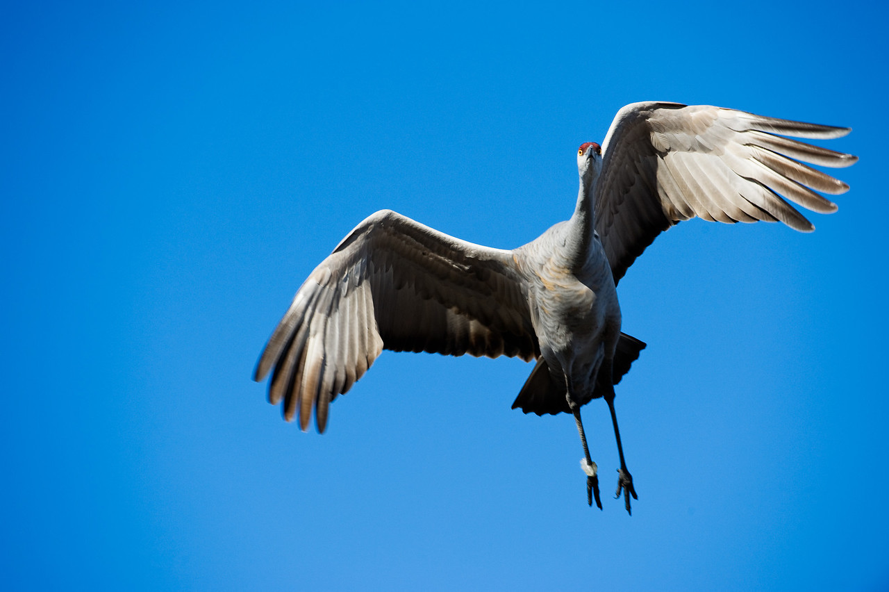 Sandhill crane, Bosque de Apache National Wildlife Refuge
