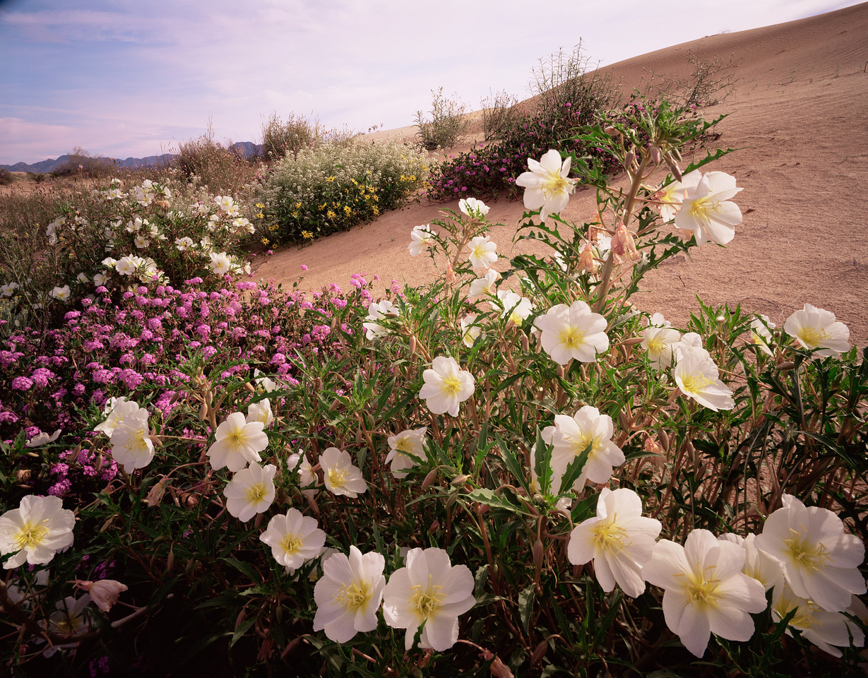Grand Desierto, Sonora,, MEX/Mexico. White birdcage evening primrose (Oenothera deltoides), sand verbena (Abronia villosa) and sand sunflowers (Helianthus niveus).292h10