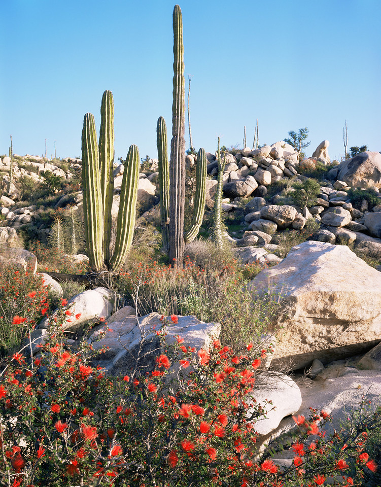 Desierto Central, Baja, MEX/California. Hummingbird bush (Calliandra californica) flowering with cardon cacti (Pachycereus pringlei). 393v10