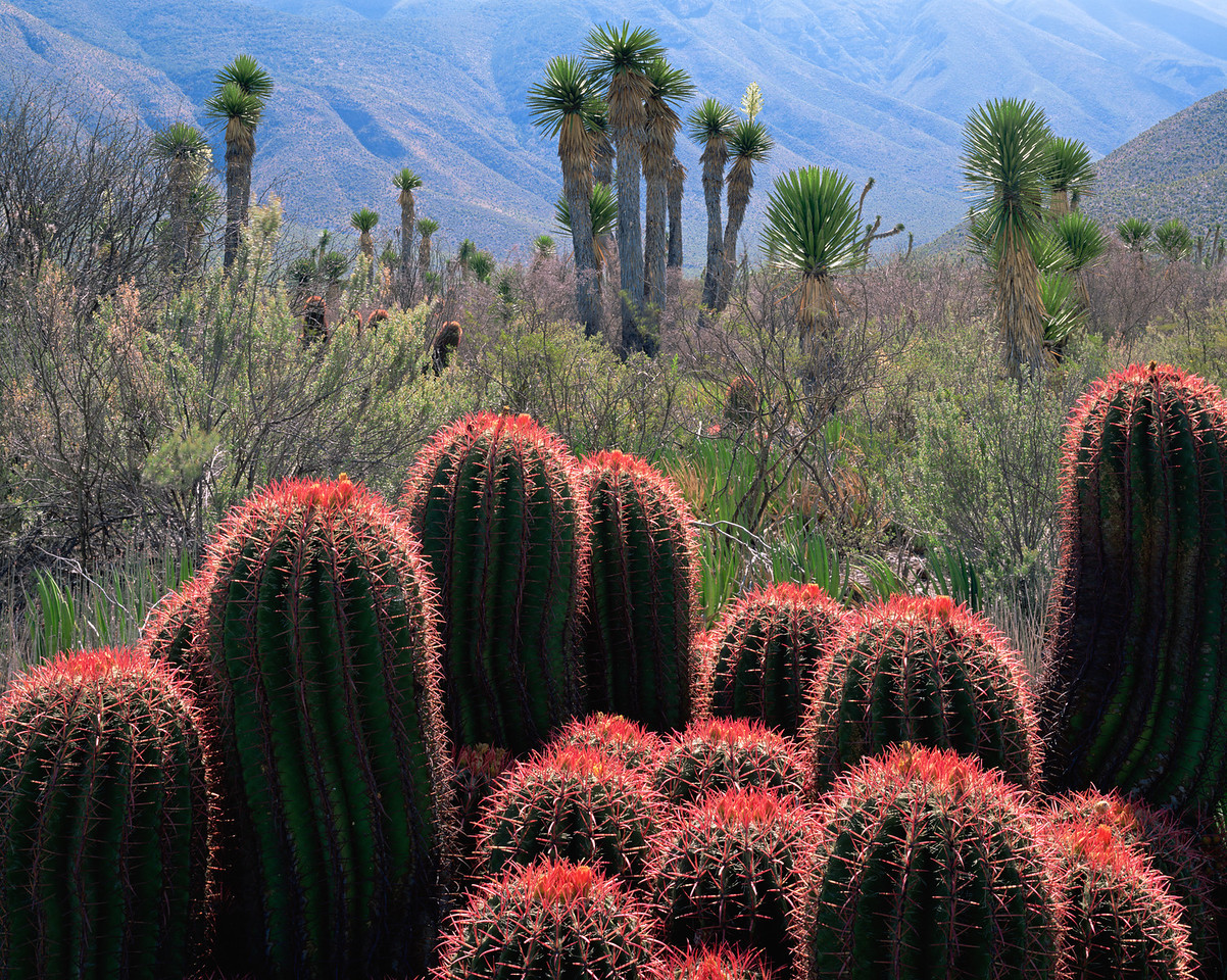 Tamaulipas, Mexico / In the eastern extension of the Chihuahuan Desert, clusters of flowering Barrel Cacti, Ferocactus stainsii, with Yuccas, Yucca sp., & the Sierra Madre in background. 1003H3