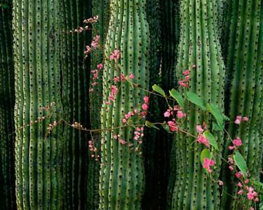 Cactus (Stenocereus thurberi) with Queen's Wreath (Antigonon leptopus) that occur in both the Sonoran Desert & Tropical Diciduous Forest.791h ama