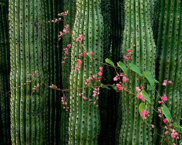 Cactus (Stenocereus thurberi) with Queen's Wreath (Antigonon leptopus) that occur in both the Sonoran Desert & Tropical Diciduous Forest.791h ama