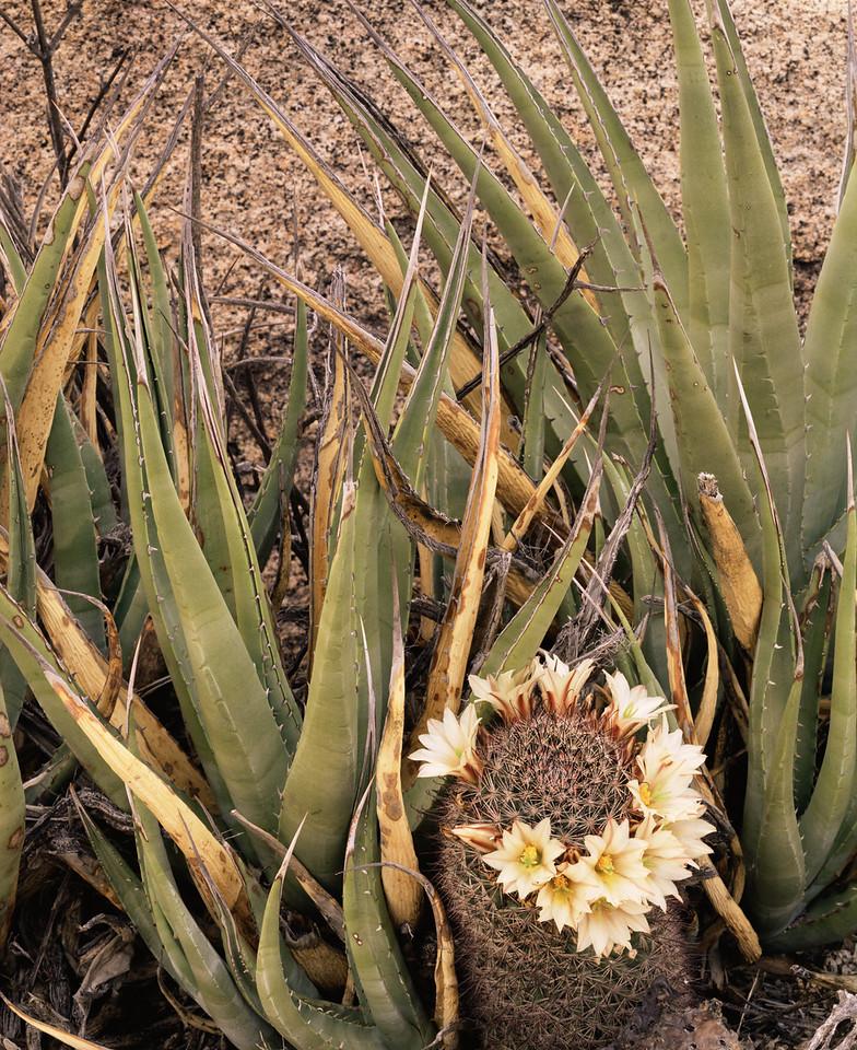 Baja, California, Mexico, MEX/Desierto Central near Catavina. Agave (Agave sp.) with flowering pincushion cactus (Mammillaria sp.) 391v5