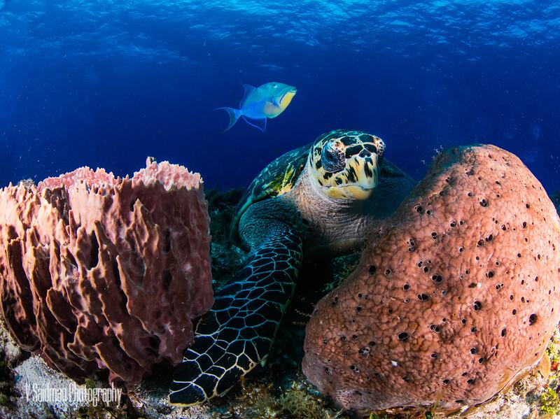 Queen Triggerfish Photobomb