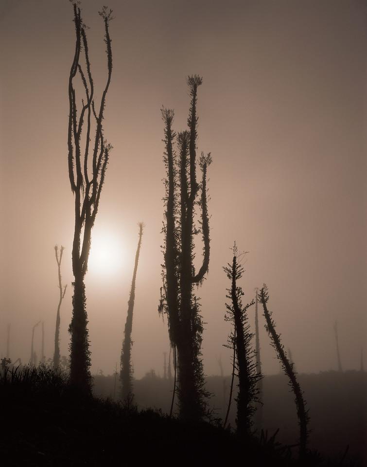 Baja California, Desierto, MEX/Central, Boojum (Idria columnaris) with lichen (Ramalina reticulata) in morning fog near El Rosario. 290v                           aca