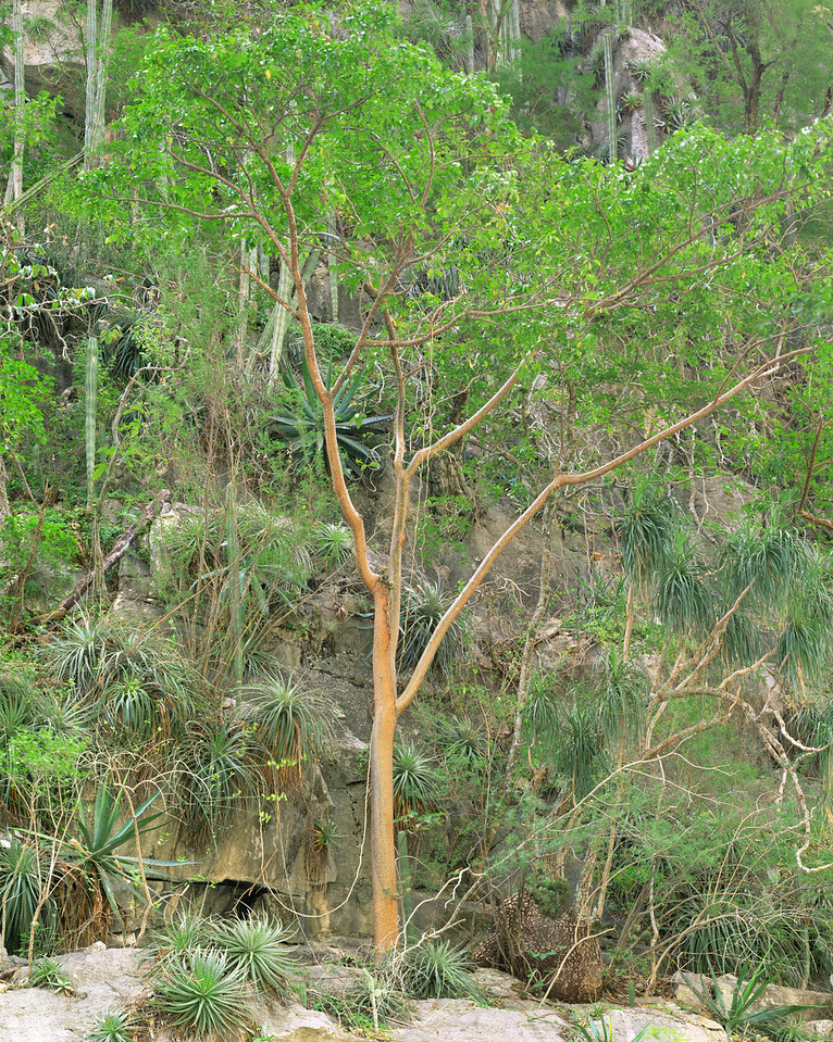 Tamaulipas, Mexico / Servilletta Canyon's walls with Gumbo Limbo trees, bromeliads, Bromeliad sp., Agaves, Agave sp., and columnar cacti. 1203V2
