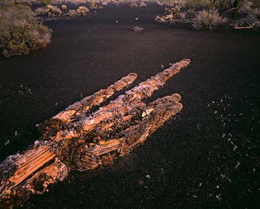 Pinacate Protected Zone., MEX/Downed decaying saguaro cactus on black volcanic ash.      289h xb
