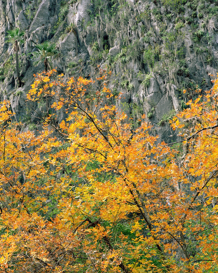 Nuevo Leon, Mexico / Cumbres National Park, / Sierra Cumbres, Catrina Canyon, Mexican Alders, Alnus oblongifolia, in fall color with against bromeliads and palms on canyon wall. 1203V4