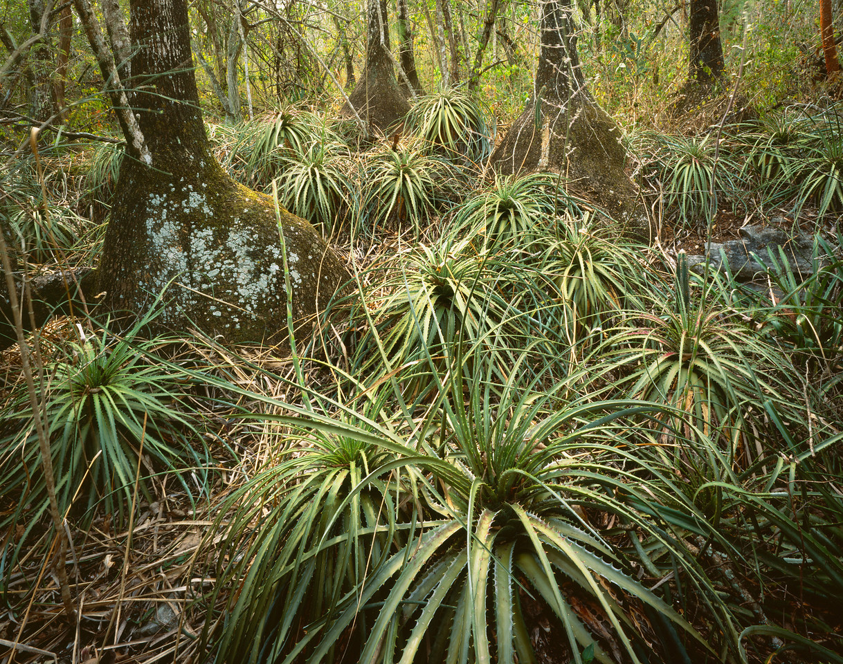 San Luis Potosi, Mexico / Abra Tanchipa National Park, Sotolin, Beaucarnea sp. & Pseudobombax eliptcum, with Bromeliads, Hechtia sp. covering the dense Huasteca forest floor.204H6