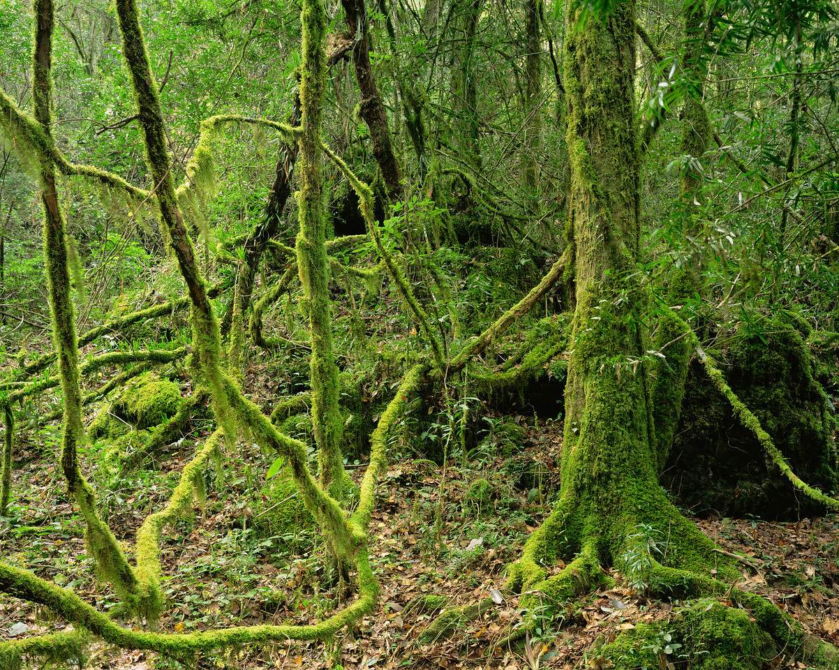 Tamaulipas, Mexico / El Cielo Biosphere Reserve cloud forest with moss covered, vine tangled dense forest. 1003H2