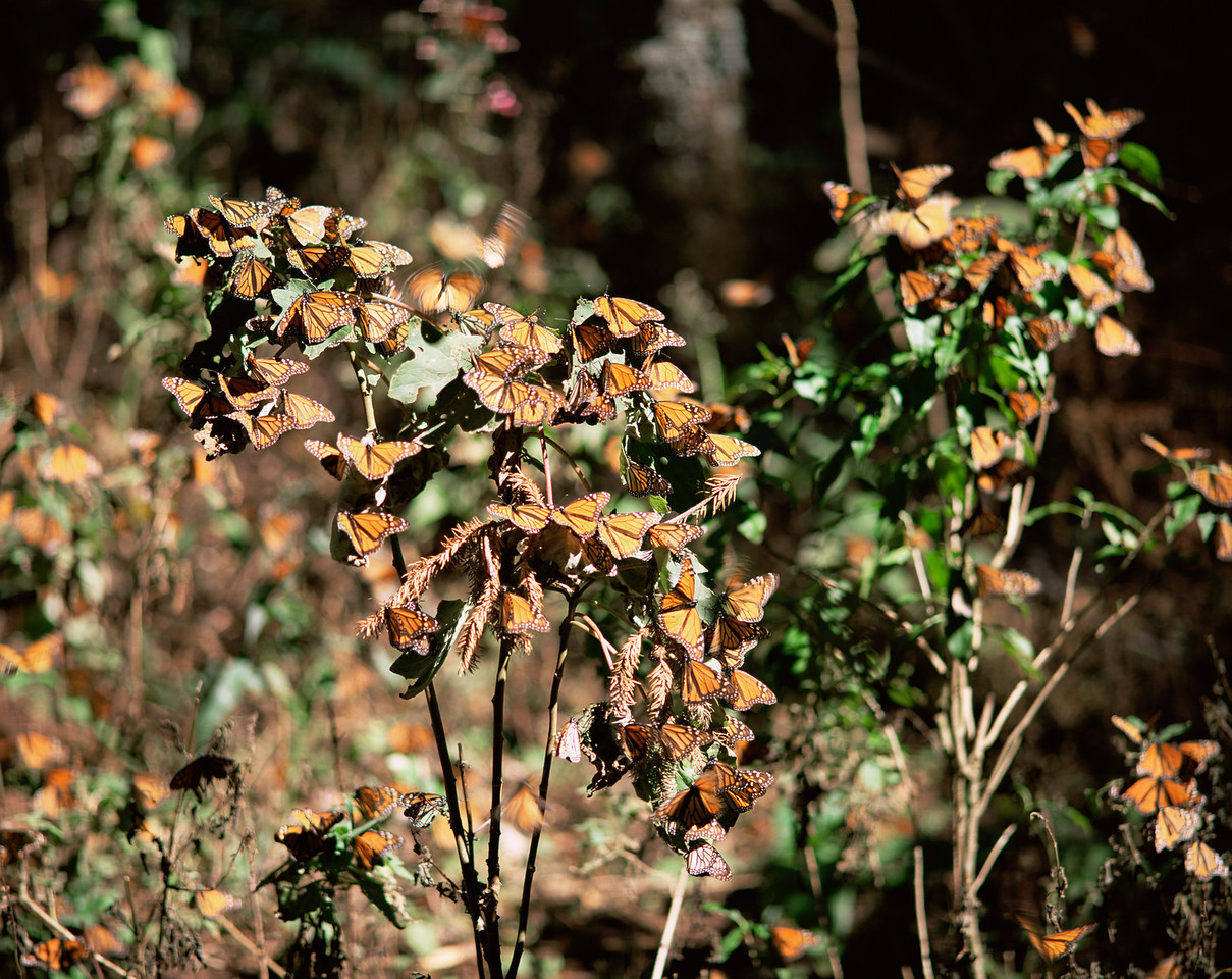 Monarch Butterfly Biosphere Reserve, Michoacan, Mexico / Monarch Butterflies, Danaus plexippus, flying and landing in under coniferous forest, Sierra Chincua. 12002H3 Provia 3/400