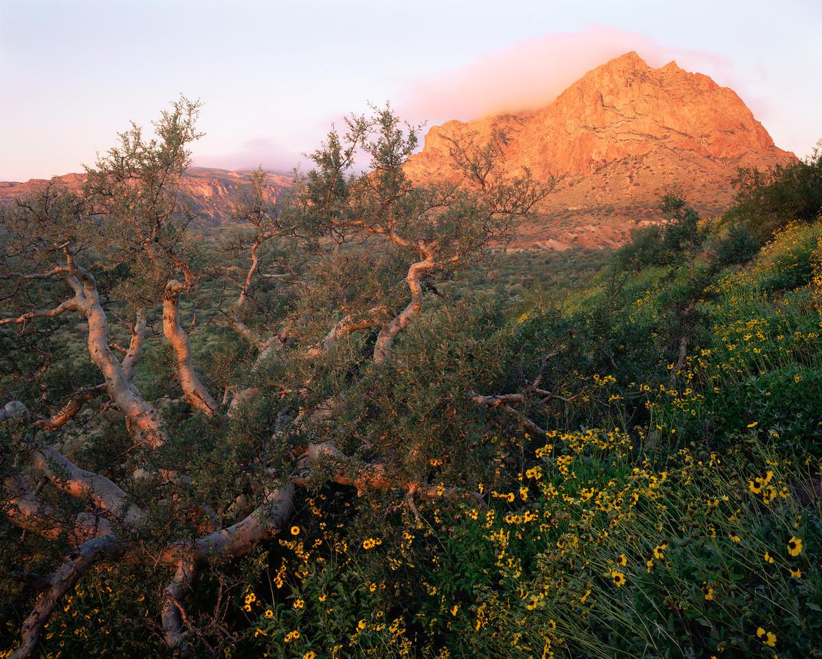 Baja California Sur, Mex., MEX/Elephant tree (Bursera microphylla) and Brittlebush (Encelia farinosa) with morning fog over Picacho El Destiladera, Vizciano Desert. 295H11