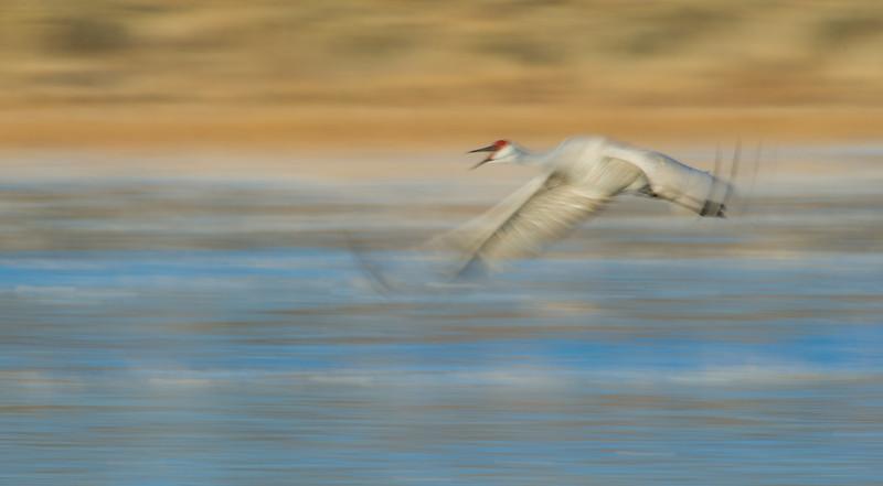 Sandhill cranes, Grus Canadensis, at Bosque del Apache National Wildlife Refuge, New Mexico.