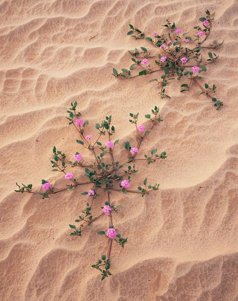 Biosphere Reserve of the, MEX/Pinacate & Gran Desierto Altar, Mexico Flowering Sand Verbena (Abronia villosa) amid textured sand dunes near Sierra del Rosario. 1197V13