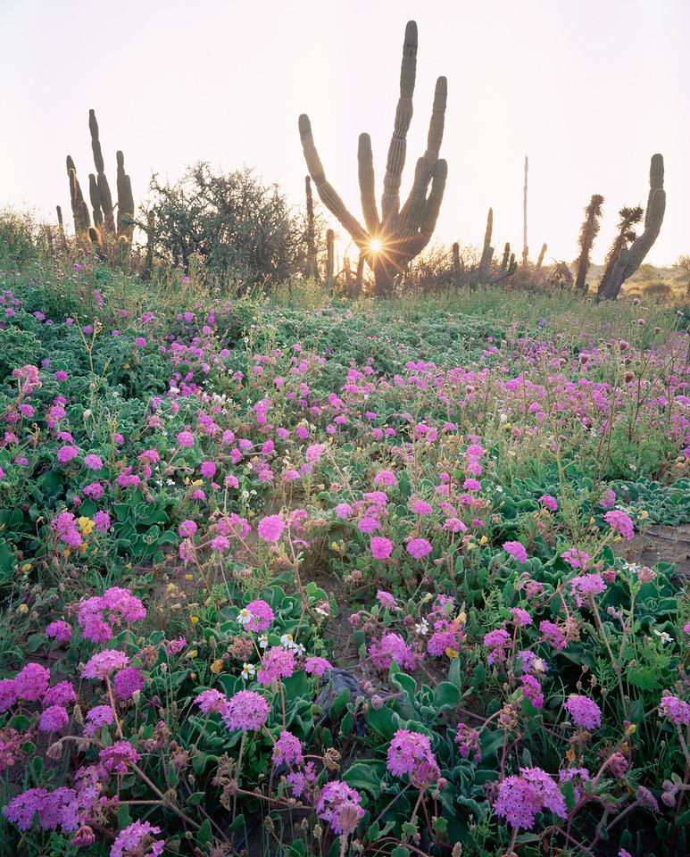 Baja California, Sur,, MEX/Mexico, flowering sand verbena (Abronia villosa) with sunrise through cardon (Pachycereus pringlei). 295V5