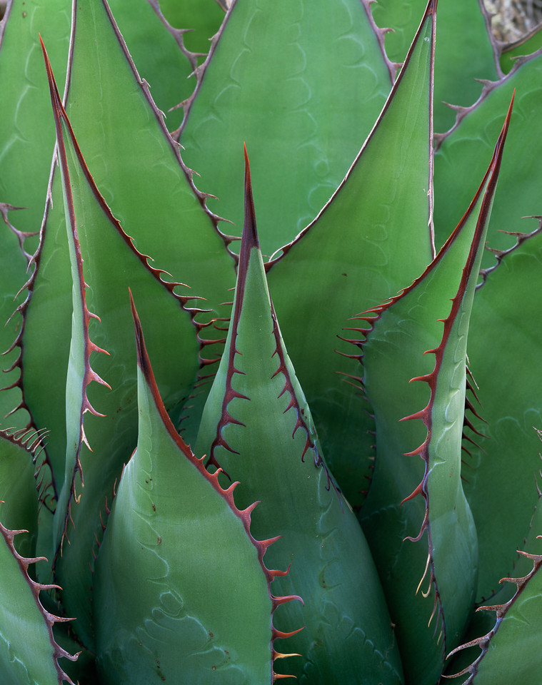 Baja California, Mexico, Sonoran Desert / Century plant,  Agave shawii, with red spines edging dagger-like blades in the Central Desert region of Baja. 22002V5