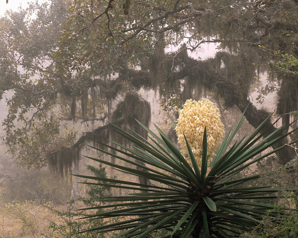 Tamaulipas, Sierra Tamaulipas, Mexico / Flowering Yucca, Yucca carnerosana, before fog-shrodded oak, Quercus sp., draped with Spanish moss, Tillandsia usneoides.  204H2