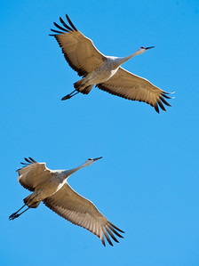 Sandhill cranes, Grus Canadensis  at Bosque del Apache National Wildlife Refuge, New Mexico, in morning light.