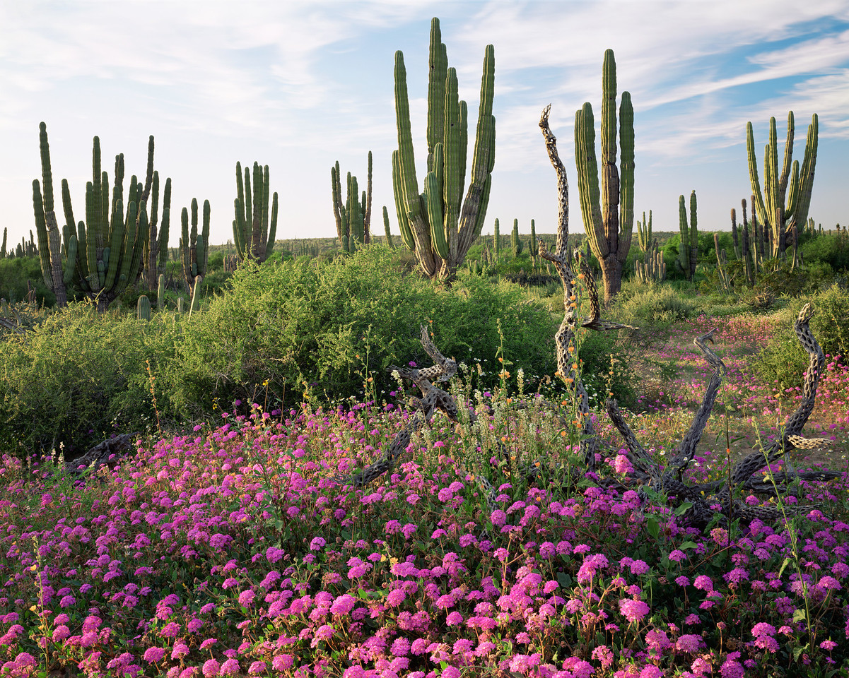 Baja California Sur, Mex., MEX/Vizcaino Desert.Cardon cacti(Pachycereus pringlei) with Sand Verbena (Abronia villosa) and Narrowleaf Globemallow (Sphaeralcea angustifolia).295H10