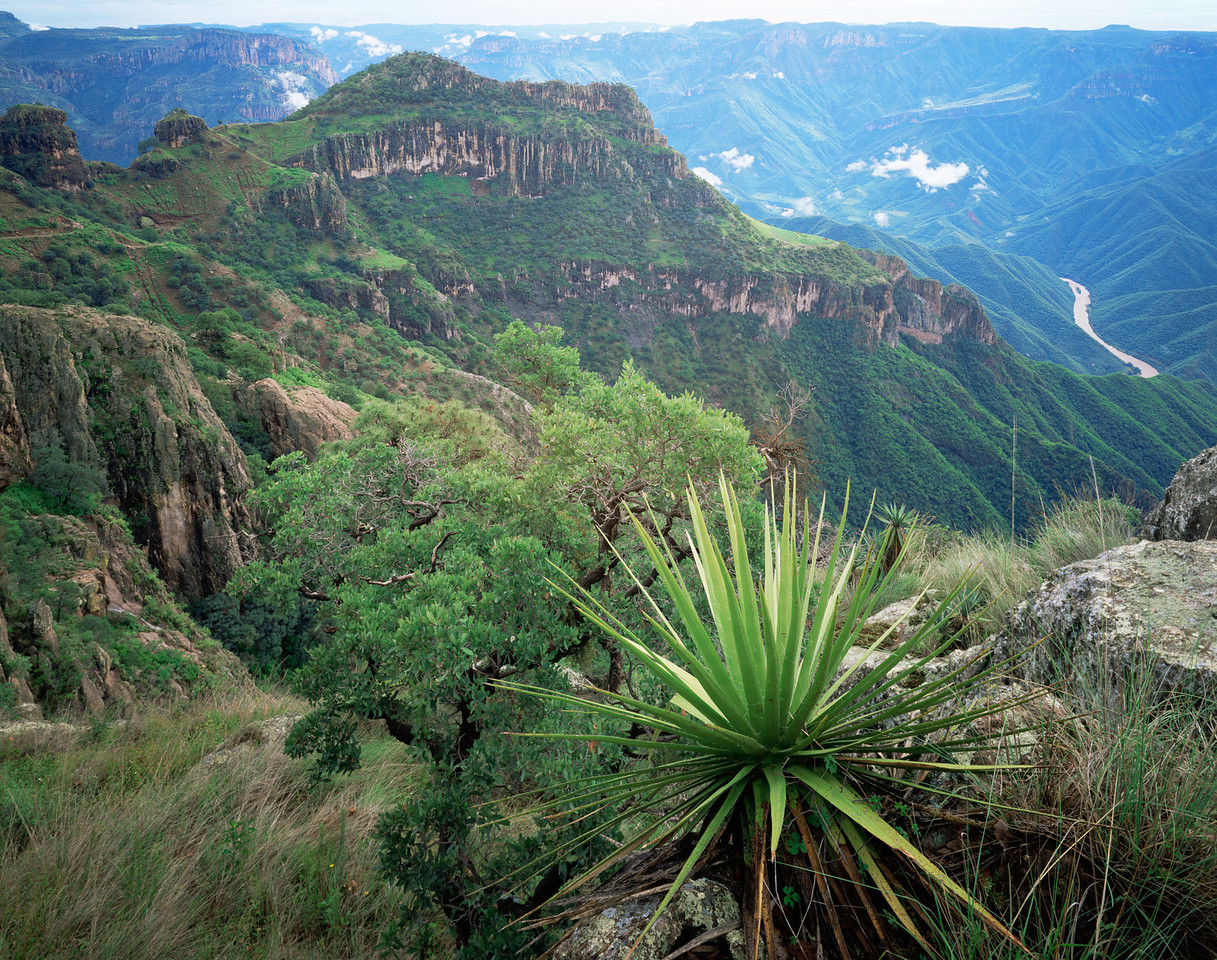 Urique Canyon, Barranca, MEX/del Cobre National Park, Chihauhau, Mex. Yuccas (Yucca schottii) with Urique River in the background. 896H6