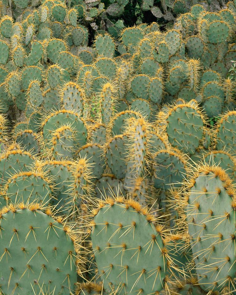 Tamaulipas, Mexico / Dense stands of prickly pear cactus, Opuntia sp. near Ciudad Victoria.  1204V4