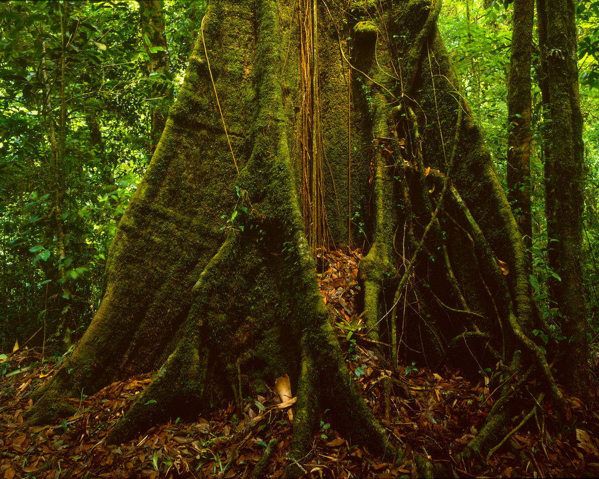 El Triunfo Biosphere Reserve, Chiapas, MEX / Trunks of giant old growth Oaks, Quercus skinneri, covered with forest understory of vines, moss and ferns.408H2