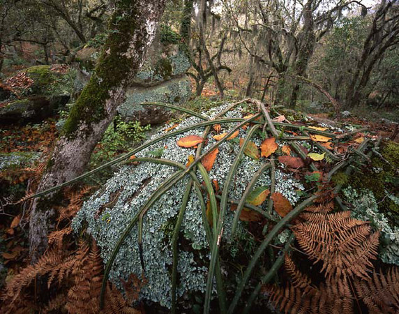 Tamaulipas, Sierra Tamaulipas, Mexico / Lichen covered boulders draped with cactus, Seleniocereus sp. in Spanish moss, Tillandsia usneoides, covered oaks, Quercus sp. 204H4
