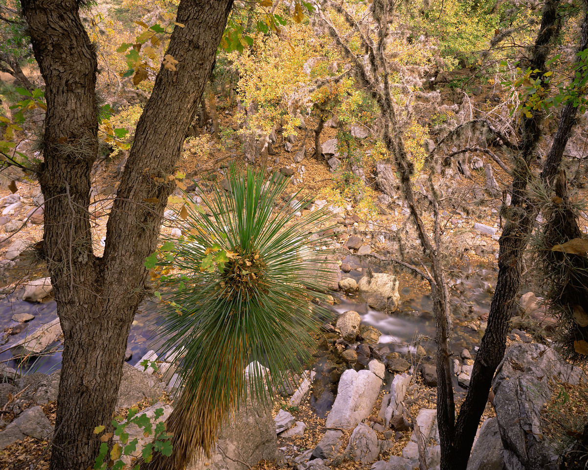 Coahuila, Mexico / Maderas del Carmen Natural Preserve. Oaks (Chisos Red Oak?), Quercus sp.  with Soaptree Yucca, Yucca elata, in San Isidro Canyon. 1204H4