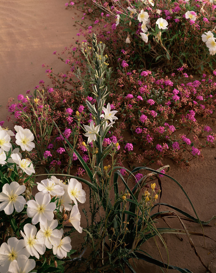 Biosphere Reserve of the, MEX/Pinacate & Gran Desierto Altar, Desert Lily (Hesperocallis undulata) Birdcage Evening Primrose (Oenothera deltoides) & Sand Verbena(Abronia villosa)298V4