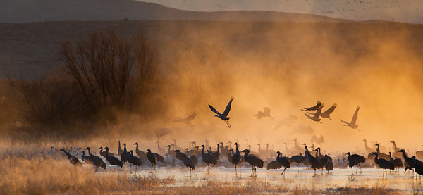 Sandhill cranes, Grus Canadensis & Snow geese, Chen caerulescens, at Bosque del Apache National Wildlife Refuge, New Mexico, in misty sunrise light.