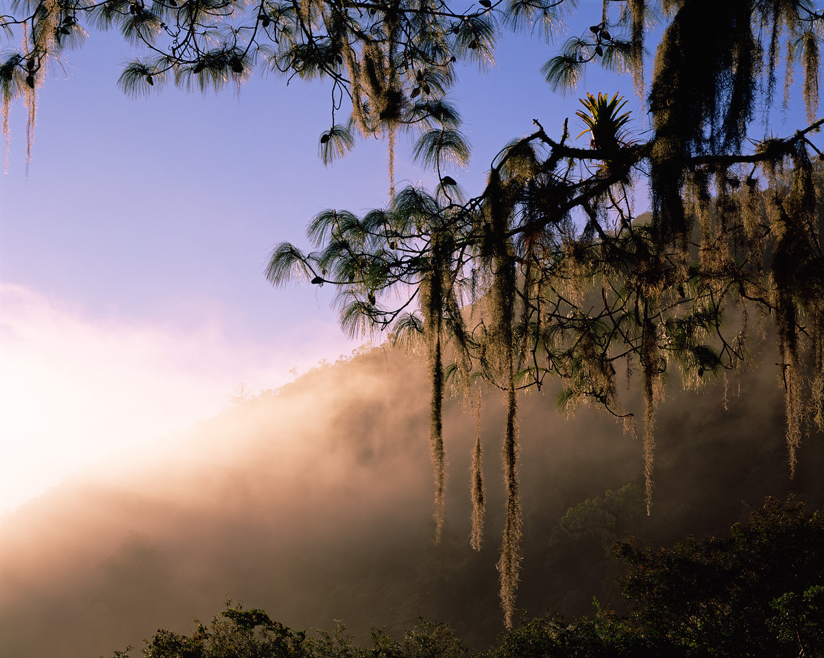 Tamaulipas, Mexico / El Cielo Biosphere Reserve cloud forest with Bromeliad, Bromeliad sp., in moss draped pine in dense forest in foggy dawn light. 1203H2