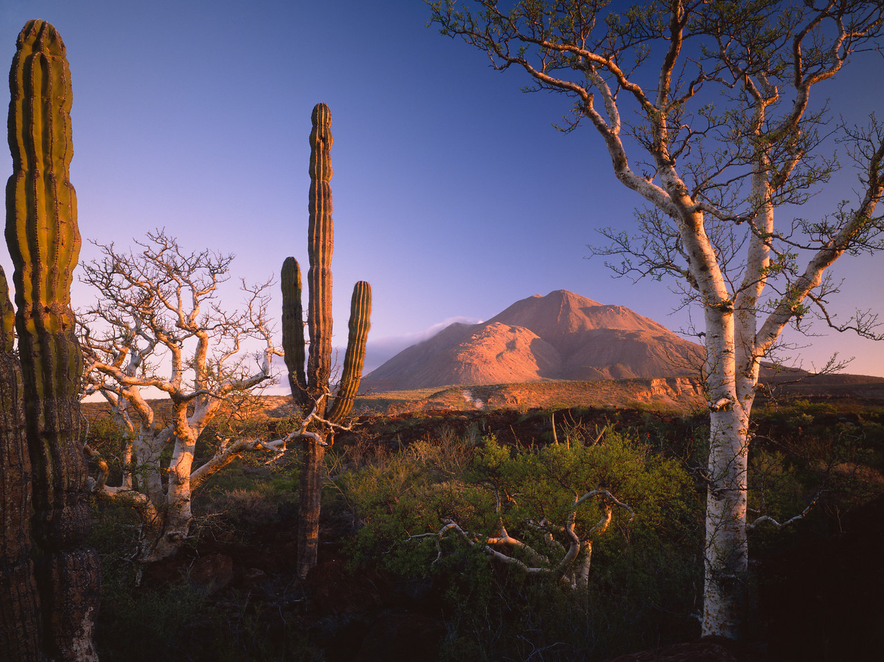 Baja Sur, Tres Virgenes, MEX/elephant trees(Pachycormus discolor)L& (Bursera microphylla)cardon189hxc