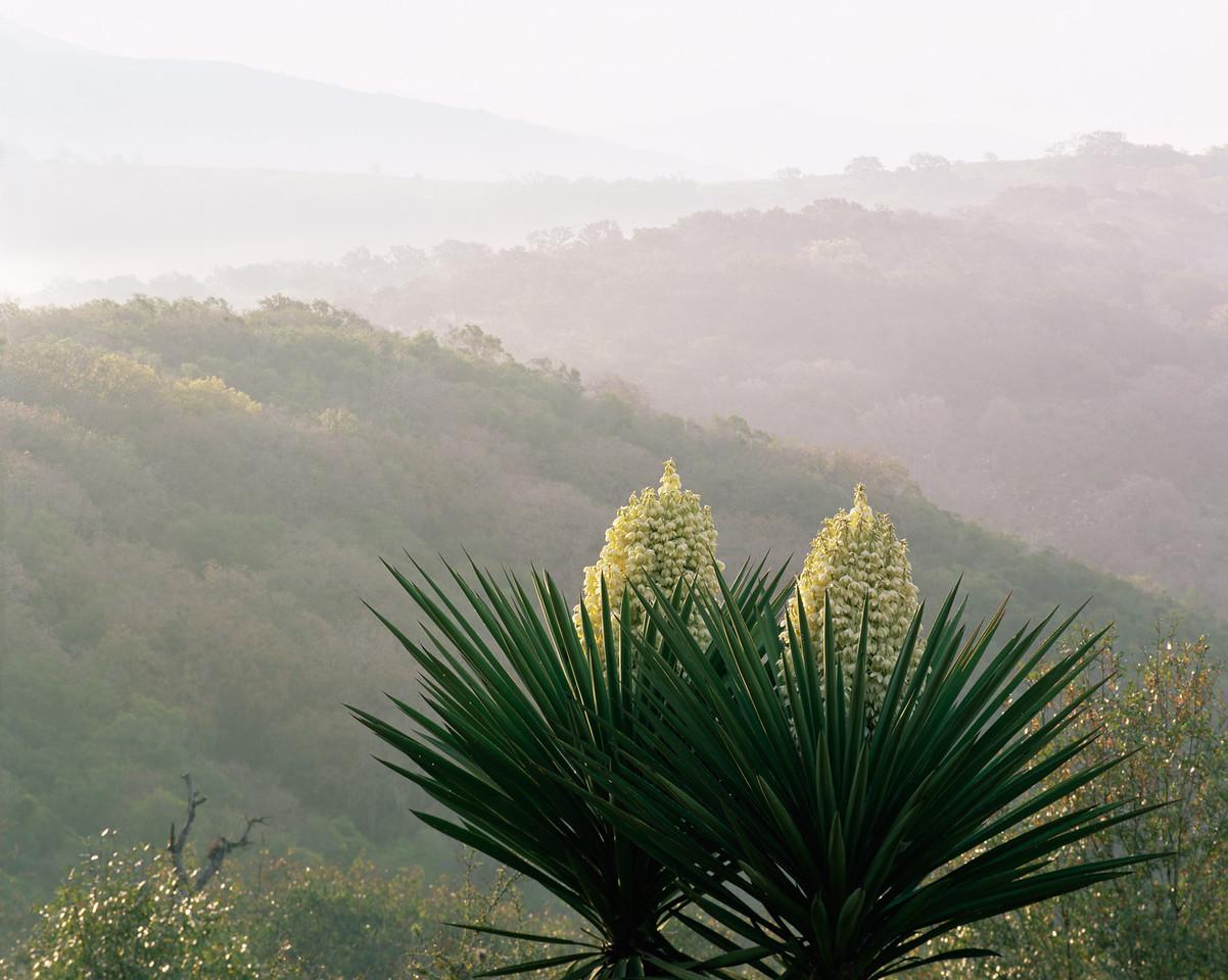 Tamaulipas, Sierra Tamaulipas, Mexico / Sun strikes flowering Yucca, Yucca carnerosana, as fog pours through the thick forested mountain ridges at dawn.204H8