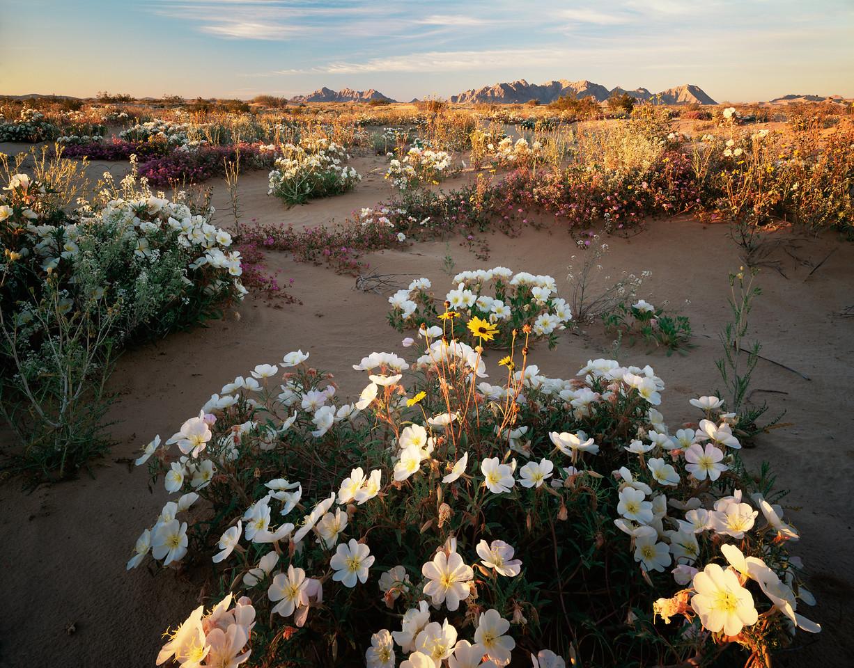 Biosphere Reserve of the, MEX/Pinacate & Gran Desierto Altar, Birdcage Evening Primrose (Oenothera deltoides), Sand Sunflowers (Heliathus niveus) Sand Verbena (Abronia villosa).298H7