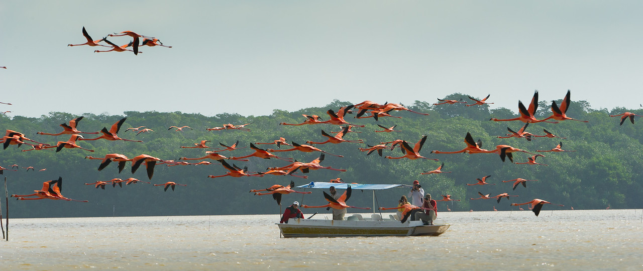 Greater flamingos in the Ria Celestun Biosphere Reserve, Yucatan state, Mexico. Photographer tourists.