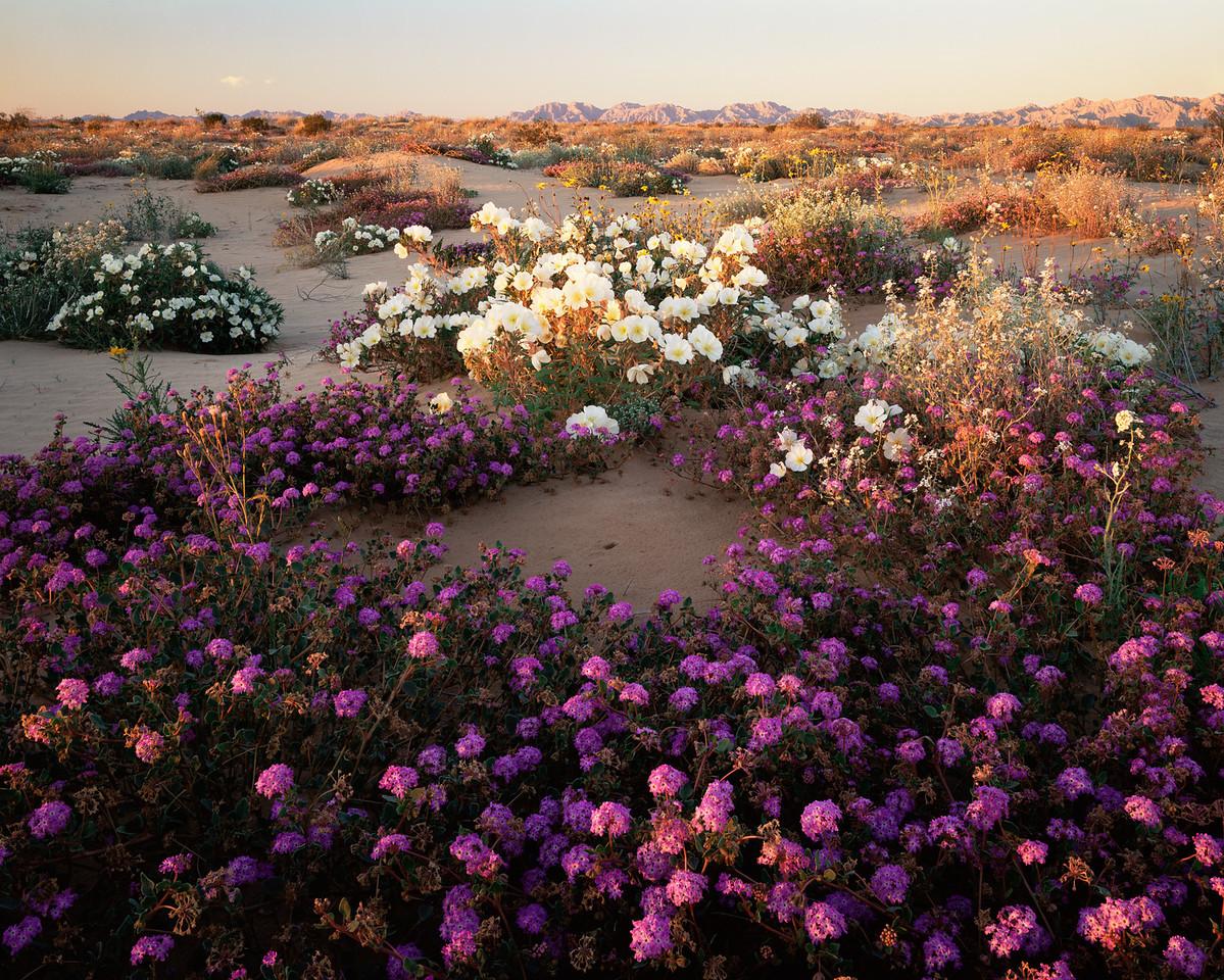 Biosphere Reser.Pinacate&, MEX/Gran Desierto Altar,Birdcage EveningPrim rose(Oenothera deltoides)Sand Sunflowers (Heliathus niveus) Sand Verbena (Abronia villosa)Tinajas Altas Mtns.298H7
