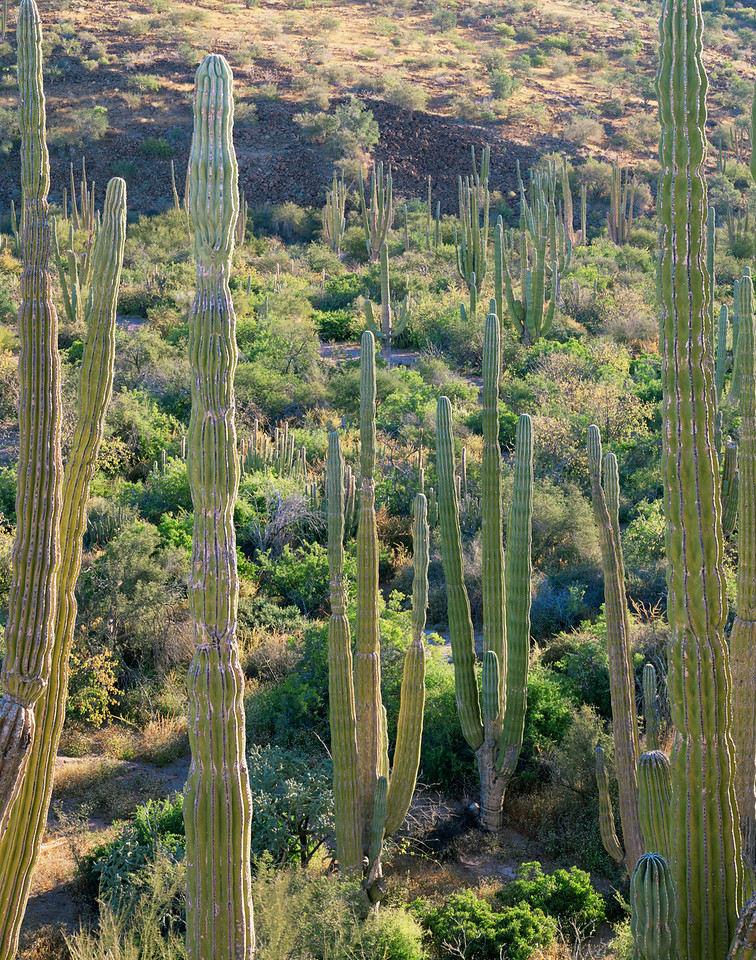 Baja California Sur, Mexico / Cardon Cactus, Pachycereus pringlei, forest on Bahia Concepcion's eastern shore. 22002V3