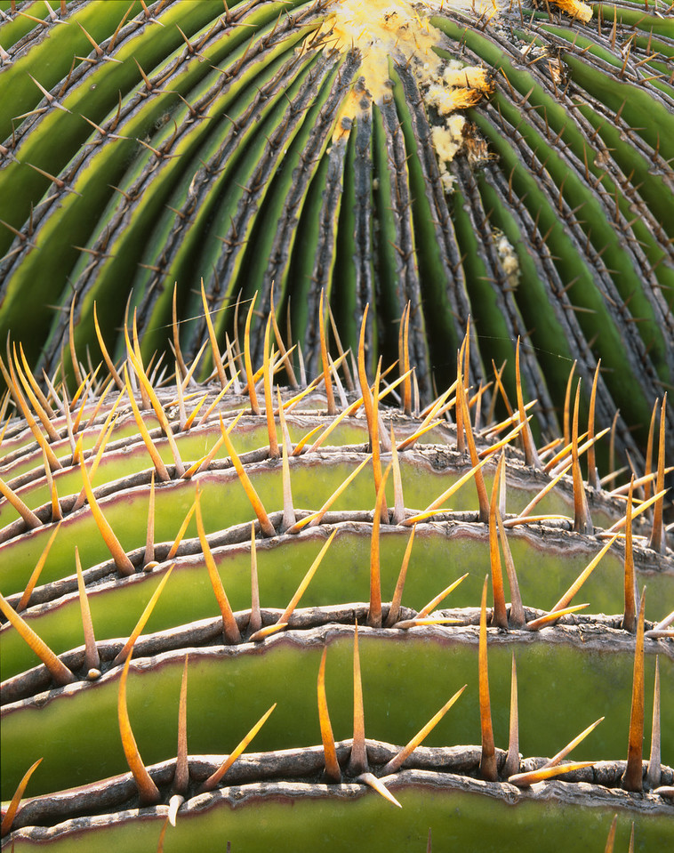 Tamaulipas, Mexico / In the eastern extension of the Chihuahuan Desert,  2 Barrel cactus (Biznaga) Echinocactus grandis, with its design of spine edged segments. 204V6