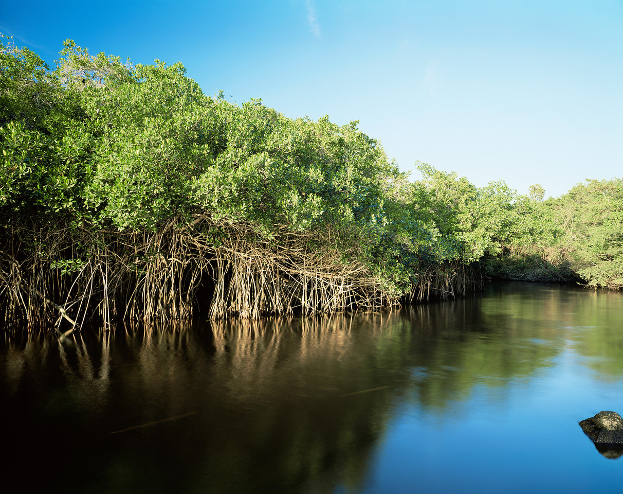 La Tovara Wetlands, San Blas, Nayarit/ Red Mangroves (Rhizophora mangle) line the brackish water. 199H4 Mexico