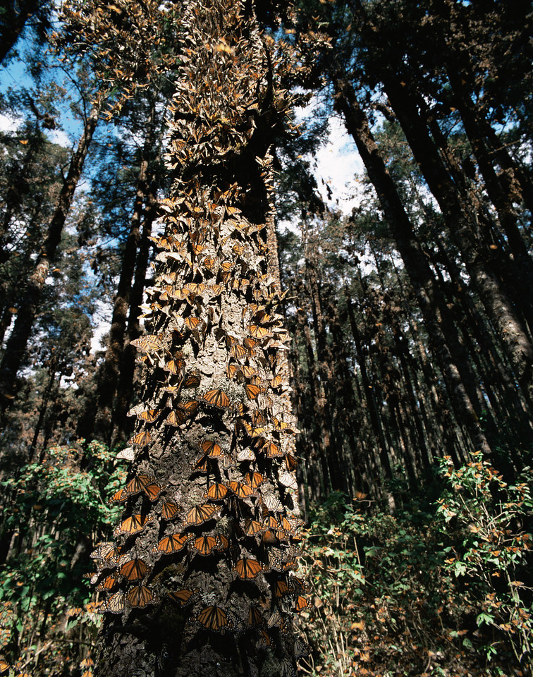 Monarch Butterfly Biosphere Reserve, Michoacan, Mexico / Monarch Butterflies, Danaus plexippus, cover tree trunks, Sierra Chincua.  12002V2