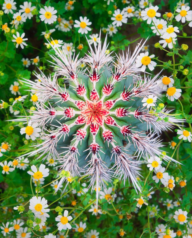 Baja California Sur, Mex., MEX/Vizcaino Desert. Young cardon cactus (Pachycereus pringlei) & Rock Daisies (Perityle emoryi) in desert arroyo. 295V13
