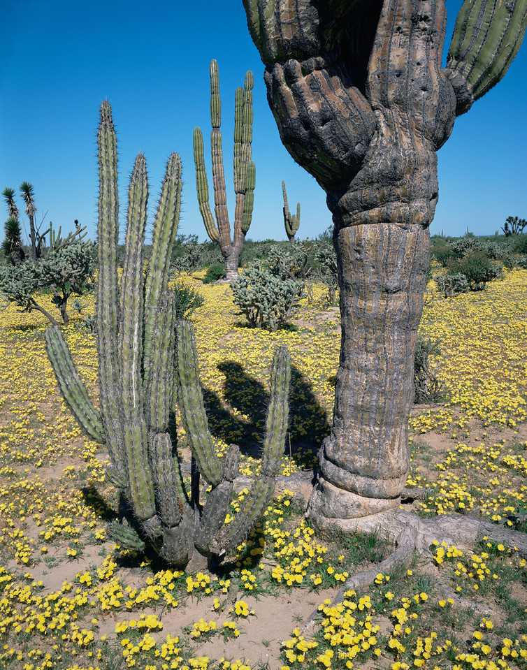 Vizcaino Desert, Baja Sur, MEX/Galloping cactus(Machaerocereus gummosus) & cardon cactus (Pachycereus pringlei) & flowering evening primrose (Oenthera sp.).393v10