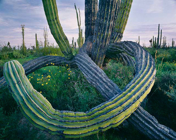 Desierto Central, Baja, MEX/California. Twisted arms of giant cardon cactus (Pachycereus pringlei), flowering brittlebush (Encelia sp.) and Phacelia (Phacelia sp.). 393h10
