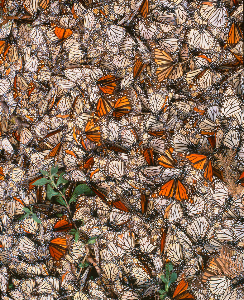 Monarch Butterfly Biosphere Reserve, Michoacan, Mexico /  A mid-January freeze killed Monarch Butterflies, Danaus plexippus, cover ground, Sierra Chincua. Some alive with wings spread. 12002V15
