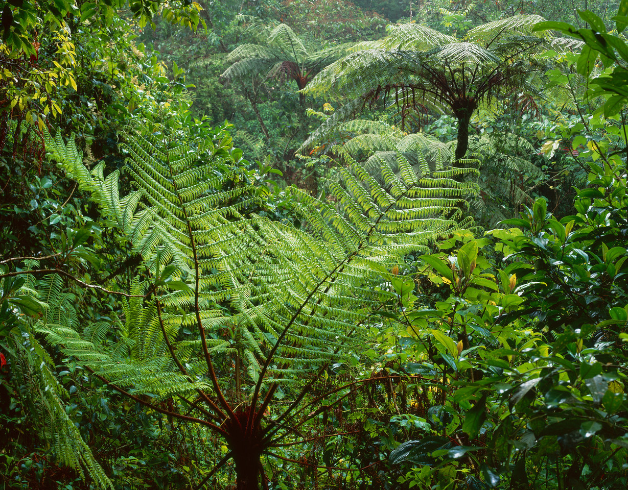 El Triunfo Biosphere Reserve, Chiapas, MEX / Tree ferns, Helecho (Spanish) Cyathea sp., shimmer in downpour of rain in the dense forest understory.408H2