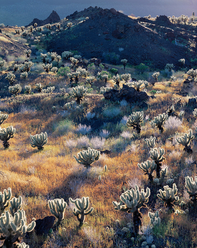 Biosphere Reserve of the, MEX/Pinacate & Gran Desierto Altar, Mexico Teddy bear cholla (Opuntia bigelovii) in jagged volcanic lava flow, covered with grass after rain.395V3