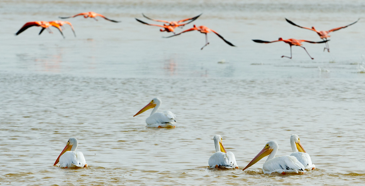 Greater flamingos & white pelicans in the Ria Celestun Biosphere Reserve, Yucatan state, Mexico