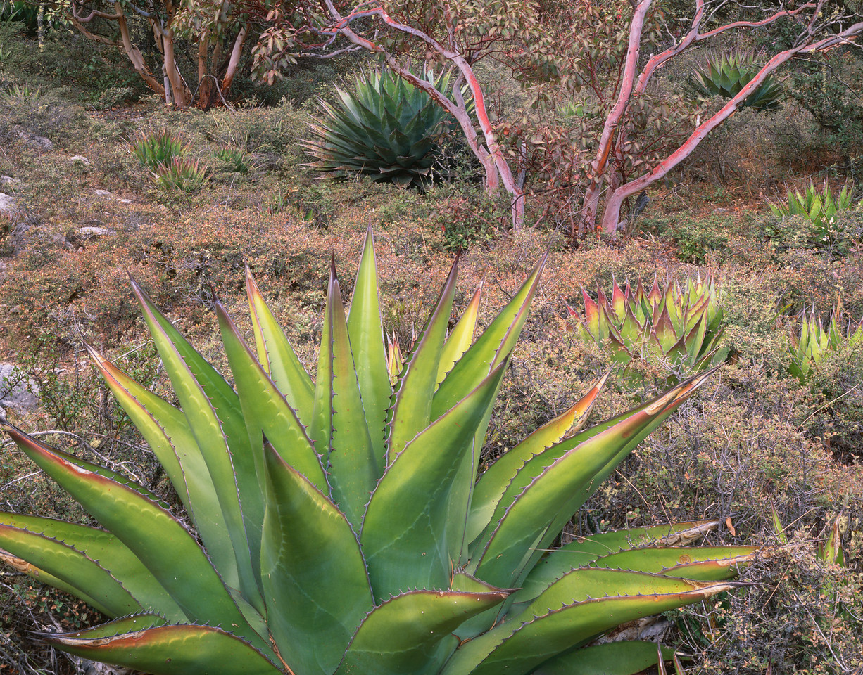 Tamaulipas, Mexico / Agave, Agave montana with  vivid colored and patterned blades with Madrone, Arbutus sp., 9200 feet at top El Borrado in the Sierra Madre Oriental.0204H5